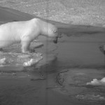 a_young_Polar_bear_investigates_the_open_water_around_the_submarine's_rudder